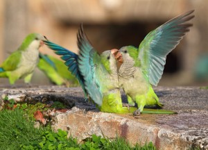 Monk Parakeets, or Pericos Monjes
