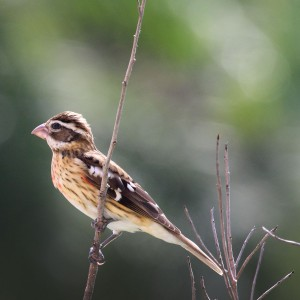 Rose-breasted grosbeak, or Picogrueso Pechirosa