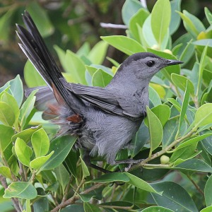 Grey Catbird, or Pájaro Gato, seen at Plaza Colón